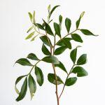 Lentiscus - Pistacia
