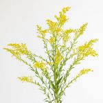 Solidago - Golden glory