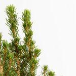 Picea - Glauca