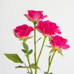 Rosa - Tr lianne