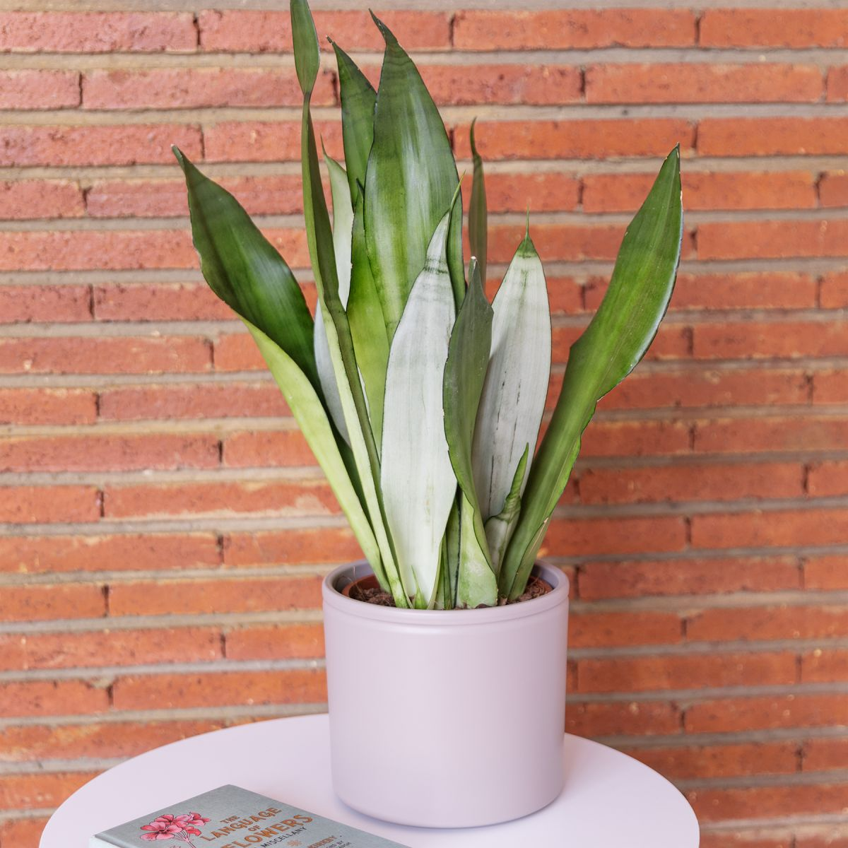 sansevieria mooshine
