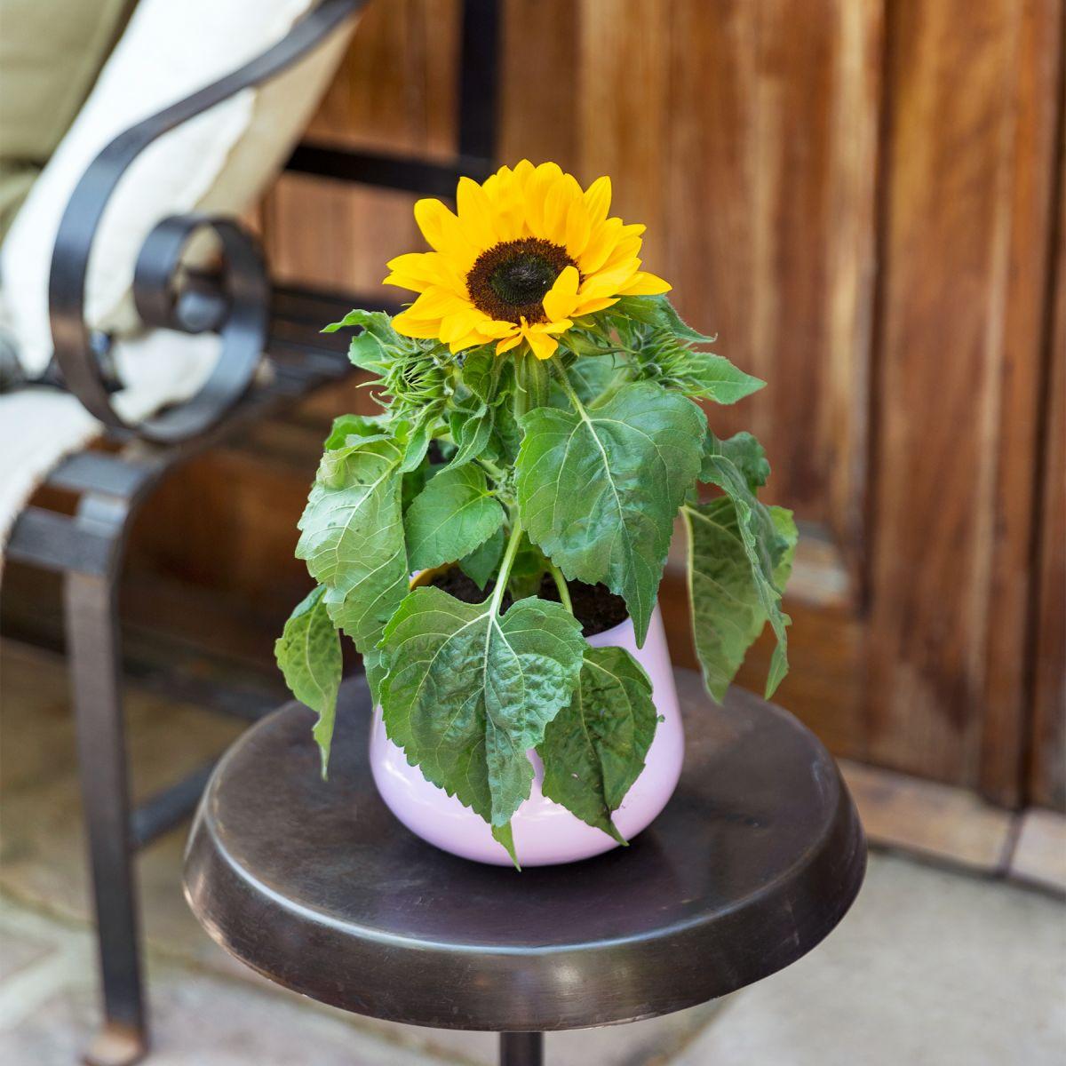 sonnenblumen Pflanze