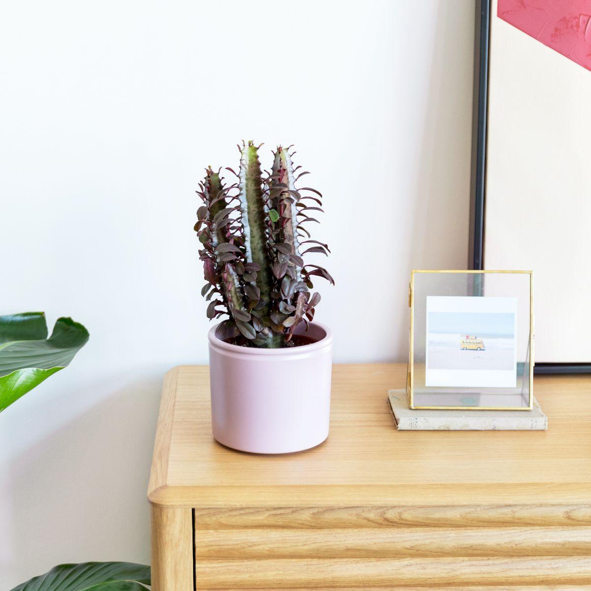Pianta Euphorbia trigona -  Ennio - Piante a domicilio - Colvin