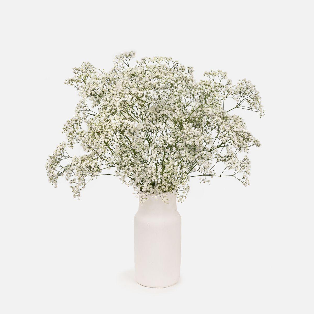 Fiori a domicilio - Panicolata Bianca - White Caress  - Colvin