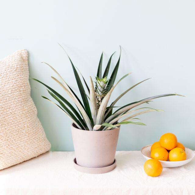 planta piña