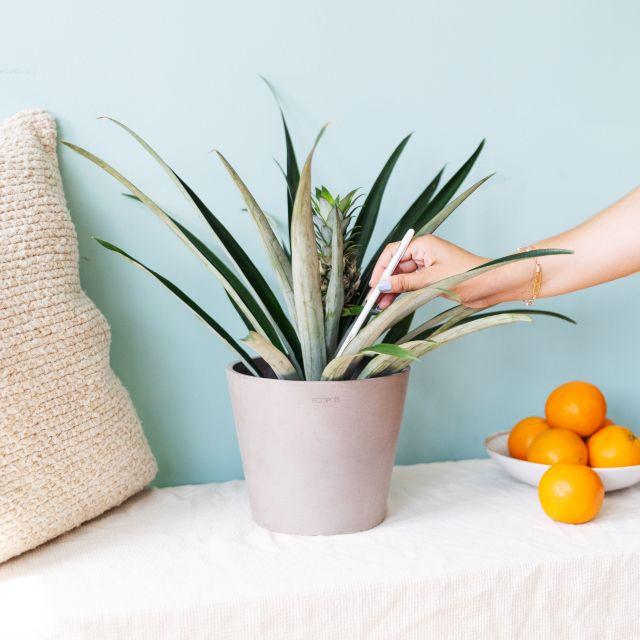 Ananaspflanze nach Hause schicken