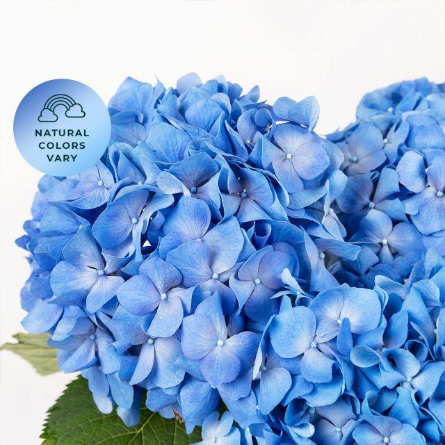 Blaue Hortensien kaufen