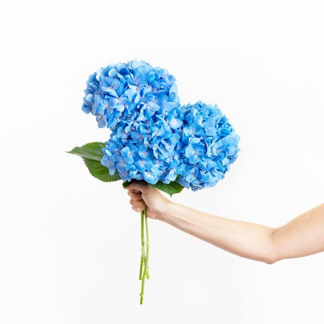 Blaue Hortensien verschicken