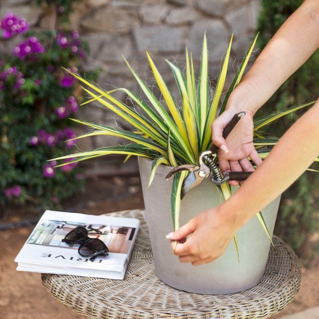 Yucca Filamentosa Pflanze kaufen