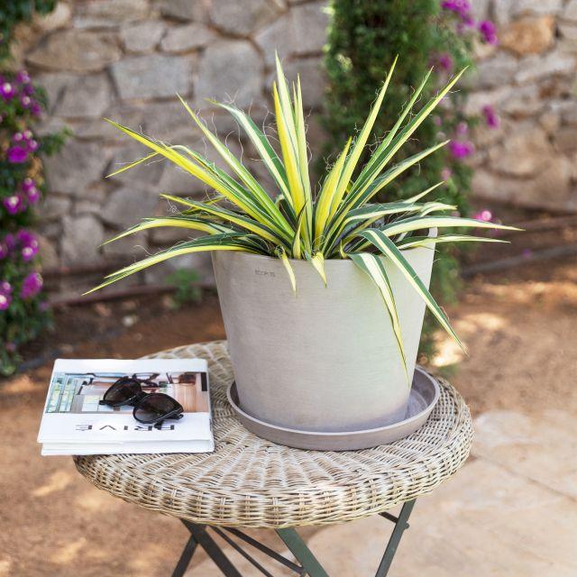 Yucca Filamentosa Pflanze Colvin