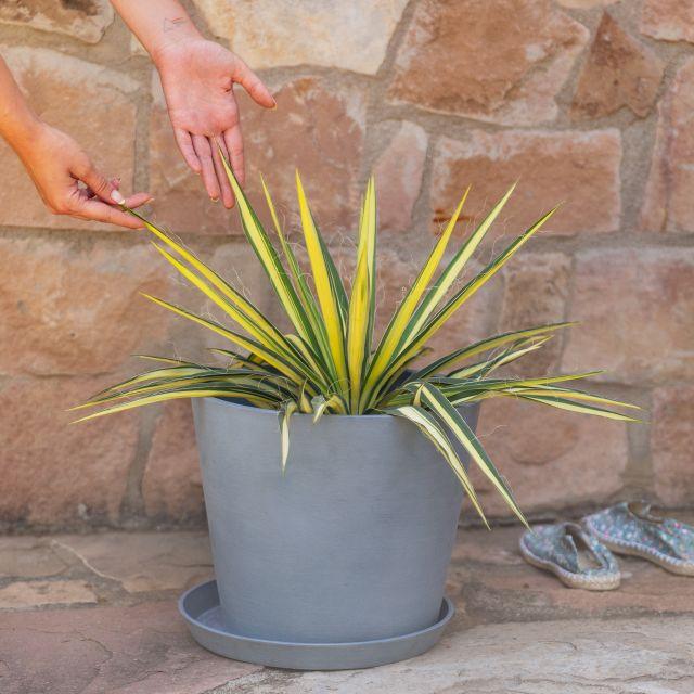 Yucca Filamentosa Pflanze online