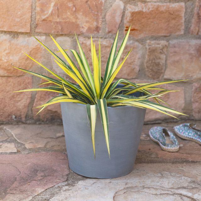 Yucca Filamentosa Pflanze nach Hause bestellen