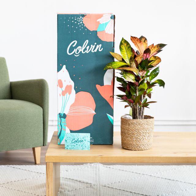 Comprar crotón codiaeum variegatum a domicilio