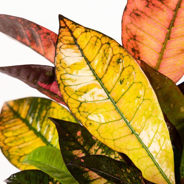 Comprar crotón codiaeum variegatum online