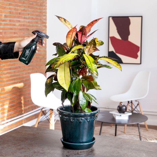 Comprar codiaeum variegatum online