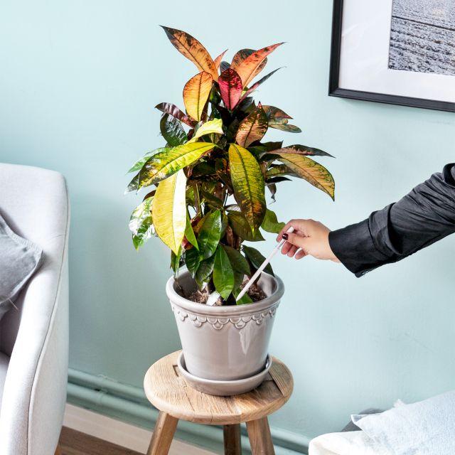 crotón codiaeum variegatum envío a domicilio