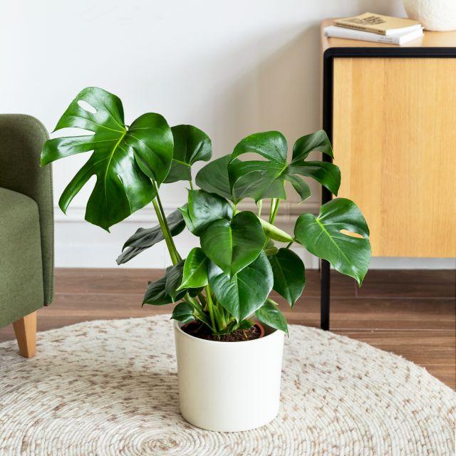 Comprar planta Miranda Colvin