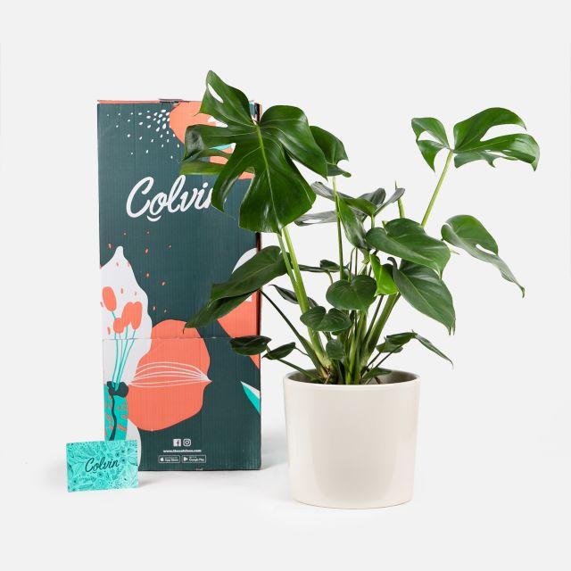 Comprare pianta Miranda Colvin
