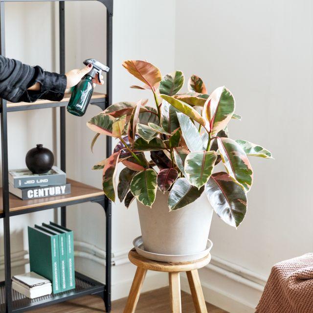 Comprar ficus elastica a domicilio