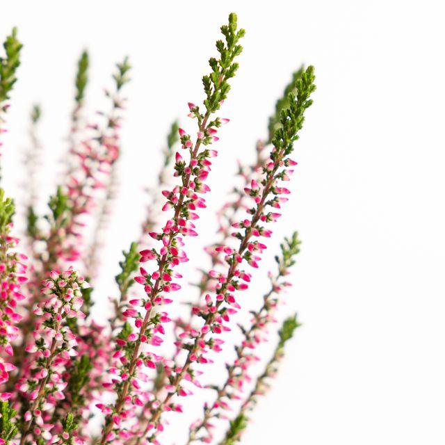 Comprar calluna vulgaris planta online
