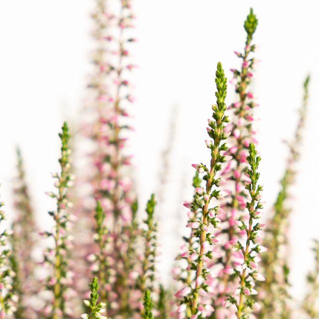 calluna vulgaris planta angie y susanne online