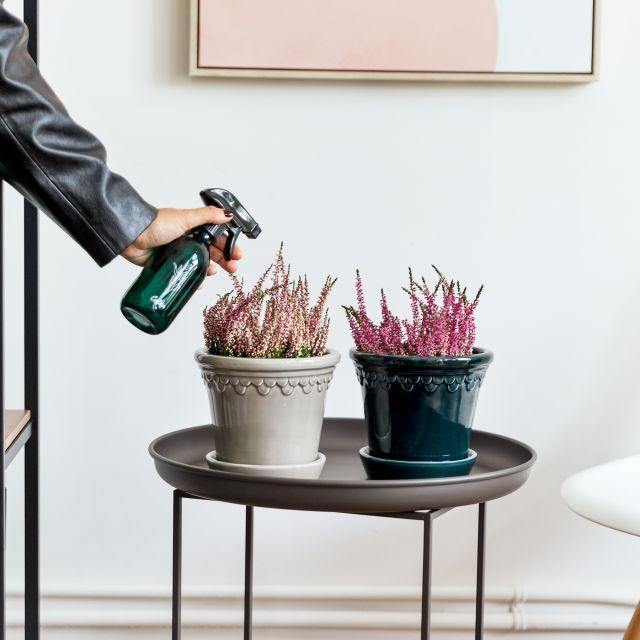 calluna vulgaris planta envío a domicilio