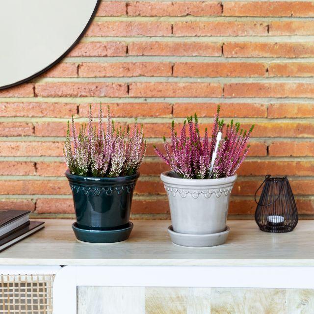 Comprar calluna vulgaris planta a domicilio