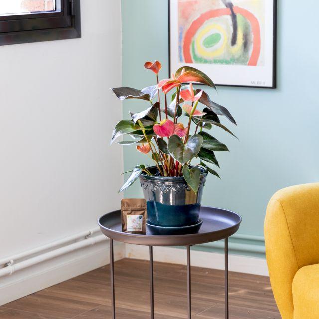 Anthurium Andreanum Rainbow envío a domicilio