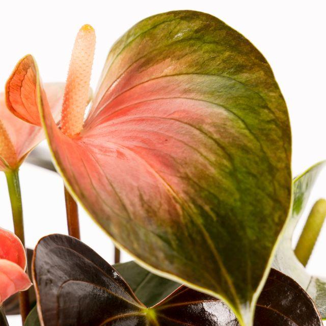Comprar Anthurium Andreanum Rainbow