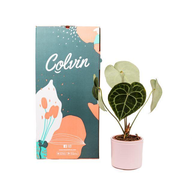 Anthurium Clarinervium planta online