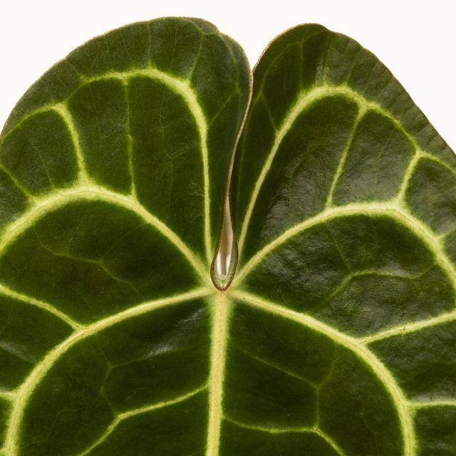 Comprar Anthurium Clarinervium planta a domicilio
