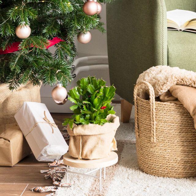 Lieferung nach Hause - Weihnachtskaktus