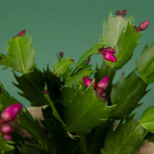 Weihnachtspflanzen kaufen