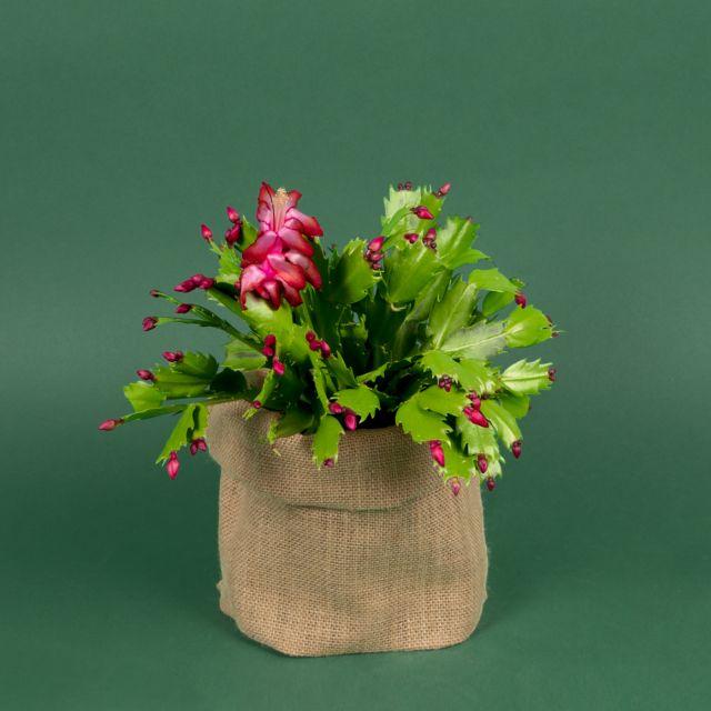 Weihnachtskaktus kaufen - Claus