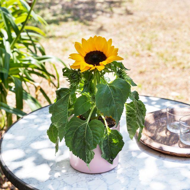 Envío girasol planta online