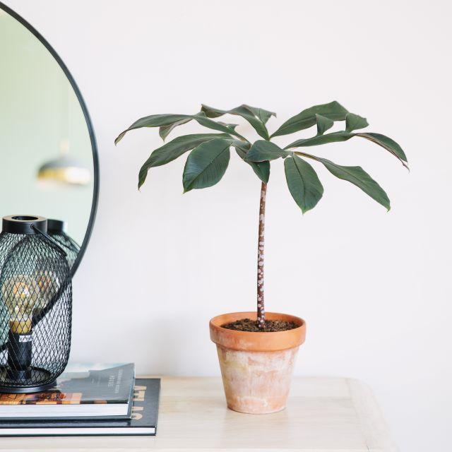 Amorphophallus planta Colvin