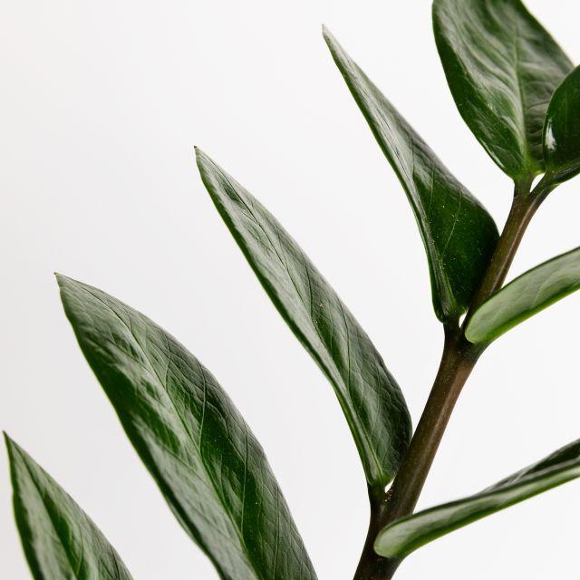 Planta ZZ pequeña a domicilio