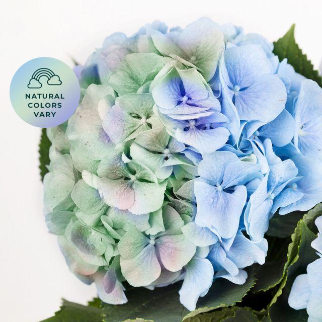 Comprare bouquet di ortensie azzurre