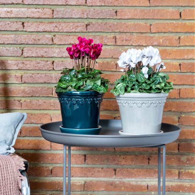 Pack di piante di ciclamino Colvin