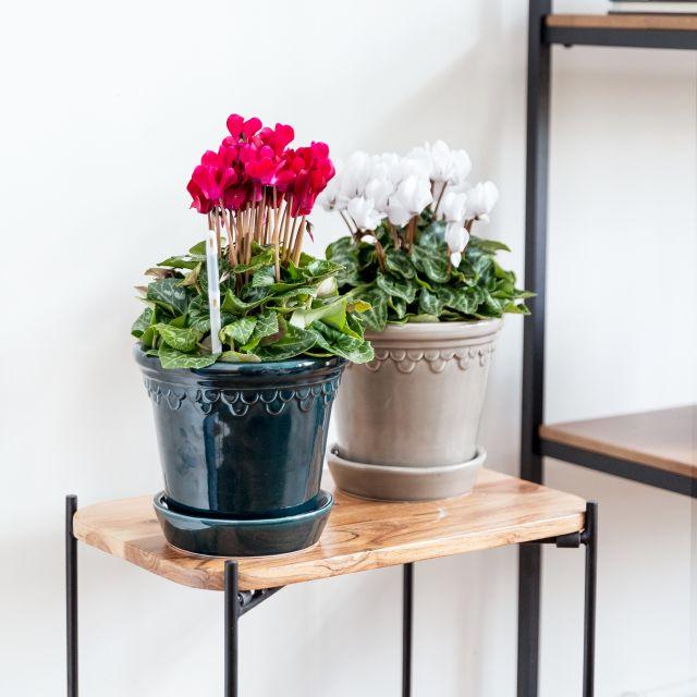 Enviar cyclamen burgundy planta a domicilio