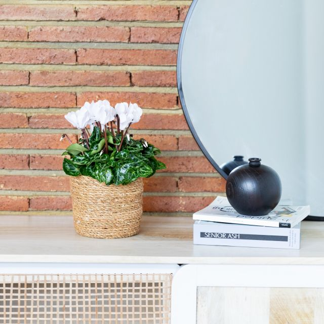 Comprar cyclamen white & coral a domicilio
