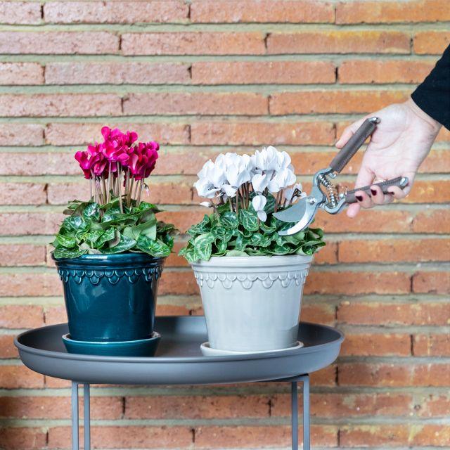 pack plantas ciclamen Colvin