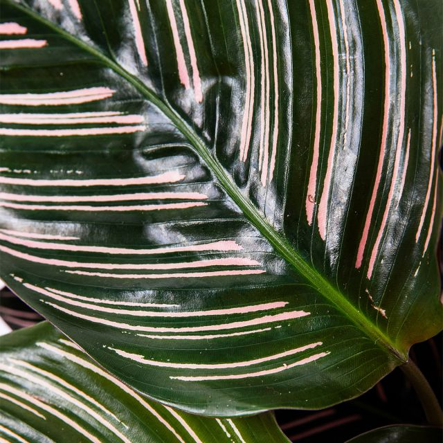 Enviar planta Calathea Ornata