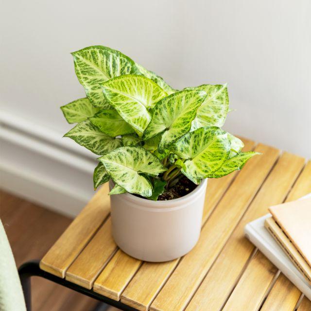 Pflanze little arnold Colvin kaufen
