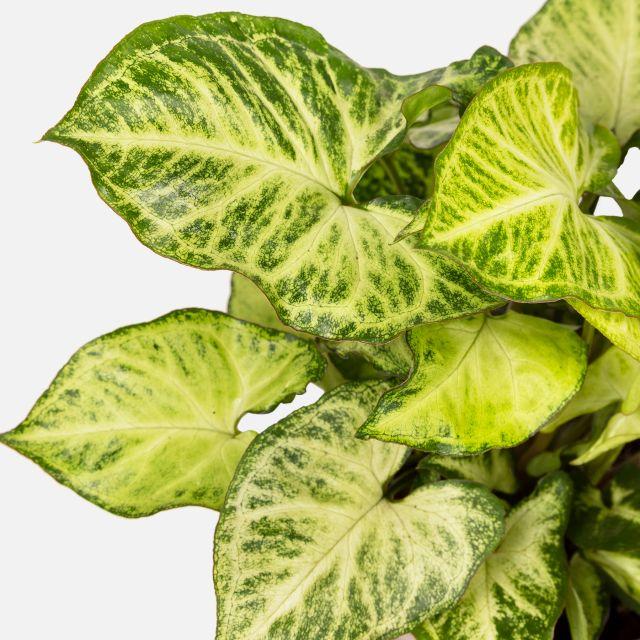 syngonium arrow pflanze kaufen