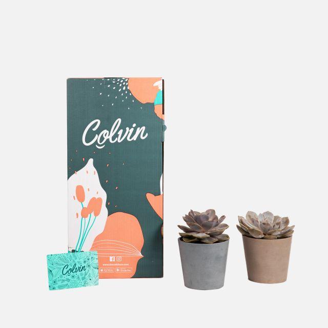 Comprar pack plantas echeveria