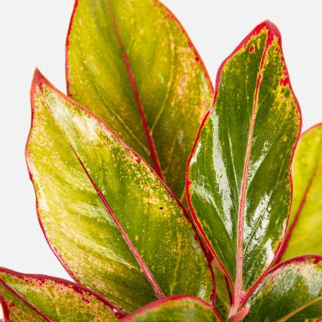 Comprar planta online Aglaonema Red Siam