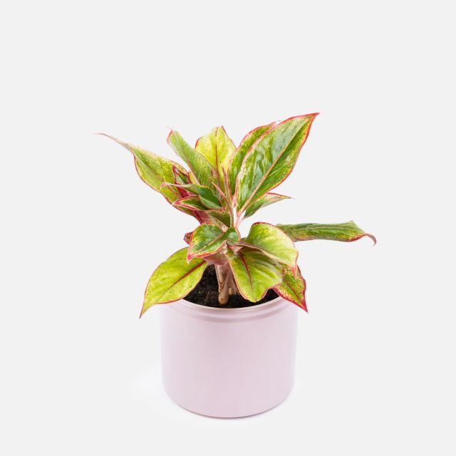 Planta a domicilio Aglaonema Red Siam