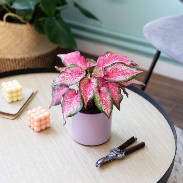 Comprare caladium verde, bianco e rosso con consegna a domicilio