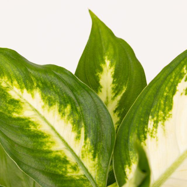 Comprare dieffenbachia white camila online
